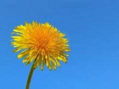 The Medicinal Properties of Dandelion | Wake Up World